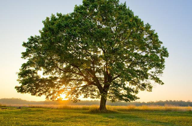 L uomo che piantava gli alberi la citt sottile for Alberi simili alle querce